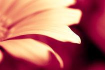 Ockerfarbene Blüte by dresdner