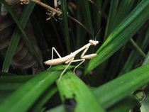 Mantis Blade von Branden Thompson