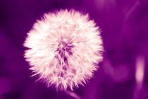 Löwenzahn violett von dresdner