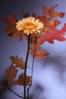 Gerbera mit Herbstlaub by Michael Guntenhöner