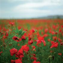 poppy fields von Vsevolod  Vlasenko