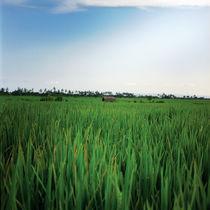 rice landscape by Vsevolod  Vlasenko