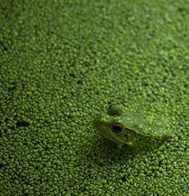 Frog In Pond von Marc Garrison