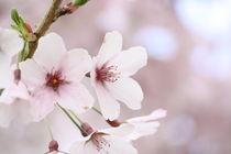 Spring Blossoms von emily-j