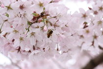 Spring Blossoms with Bee von emily-j
