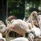 La20100805lj0253-foz-do-iguau-parque-das-aves-chilean-flamingos-chilenos