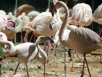 Birds, Chileans flamingos by Laeti Images