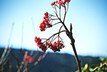 Red Berries von Melanie Mayne