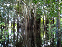 Arbol de caucho, Amazonas, Colombia von Camila Sanint Londoño