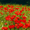 Roter-mohn-wiese