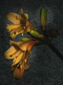 Klivien Blüte by Elke Balzen