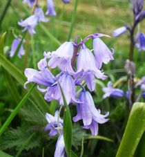 The Blue Bells of Scotland by imagethat