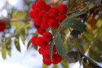 Rowan berries by Agata Patek