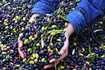 Olives At Harvest by Marcus Adams