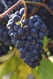 Pinot Noir Grapes by Marcus Adams