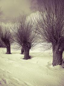 Alte Weiden im Winter von dresdner