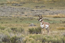 Prairie Pronghorn by Steven Ross
