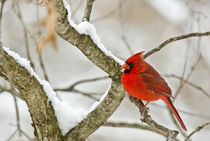 Cardinal on a Snow Covered Tree