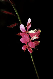 Schmetterlingsblume von blickpunkte