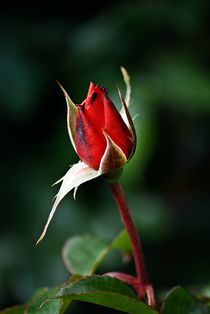 Rote Rose by Michael Hemmi