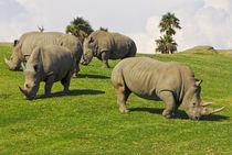 Rhinos-grazing