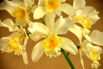 White Orchids w/yellow centers. by Brian  Leng