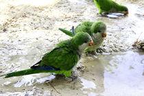 Parrot by Ciro Zeno