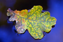 Blue water leaf by blojfo