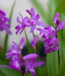 Orchids by Inna Merkish