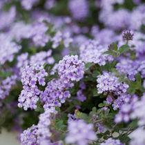 Violet by Inna Merkish