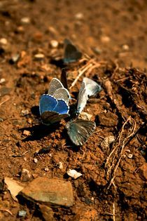 Blue Butterfly by grapunzel