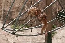 Monkey kiss von ignacio santonja