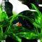 Bop-amazon-kingfisher