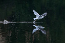 Gull take off by linconnu