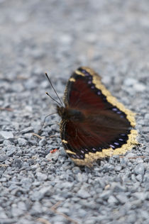 Mourning Cloak by linconnu