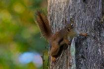 American red Squirrel von linconnu