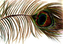 Peacock Feather von laura seed