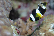 Clarks Anemonenfisch, Amphiprion clarkii, Malediven, Indischer Ozean, maldives, fihalhohi, south male atoll,  by Heike Loos