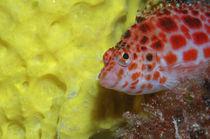 Korallenwächter Malediven, Dwarf hawkfish by Heike Loos