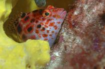 Korallenwächter, Dwarf hawkfish, by Heike Loos