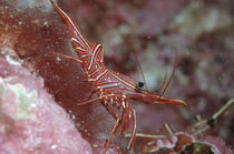 Tanzgarnele, Dancing Shrimp by Heike Loos