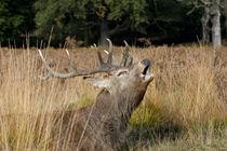 Roaring Deer von George Kay