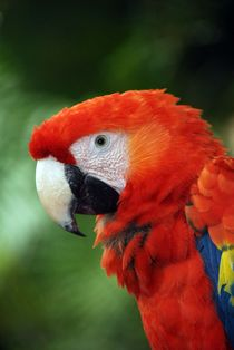 Parrots Guacamaya by Vincenzo Mercedes