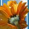 Sun-kissed-daisy