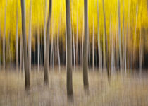abstract autumn cottonwood forest von Ed Book