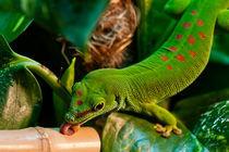 Großer Madagaskar Taggecko  von Cornelia Dettmer