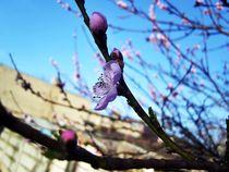 Blossoms von Nicoleta Costin