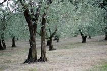 Olivenbäume by Jürgen Müngersdorf