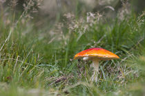 Red-capped mushroom by 56degreesphotography