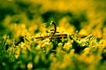 Golden moss by Marko Niemelä